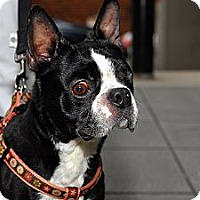 Adopt A Pet :: Gustavo - New York, NY
