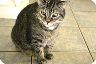 Domestic Shorthair Cat for adoption in East Smithfield, Pennsylvania - Puddin
