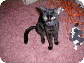 Domestic Shorthair Cat for adoption in Proctor, Minnesota - Jazzabelle