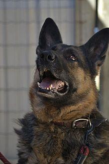 German Shepherd Dog Dog for adoption in Clinton, Ontario - Tina