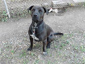 Labrador Retriever Mix Dog for adoption in Libby, Montana - Rolly