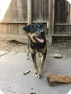 German Shepherd Dog/Labrador Retriever Mix Dog for adoption in Lodi, California - Gracie