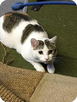 American Shorthair Cat for adoption in Butner, North Carolina - Sweet Pea