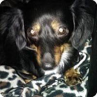 Adopt A Pet :: Furby Joy - San Antonio, TX