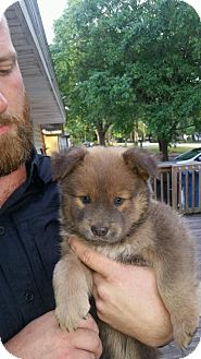 Australian Shepherd/Chow Chow Mix Puppy for adoption in Tampa, Florida - 4PUPPIES FOSTER NEEDED ASAP