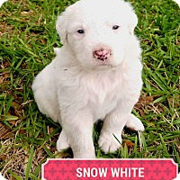 Great Pyrenees/Anatolian Shepherd Mix Puppy for adoption in Weatherford, Texas - *Snow White*