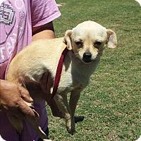 Adopt A Pet :: Daisey Mae - San Antonio, TX