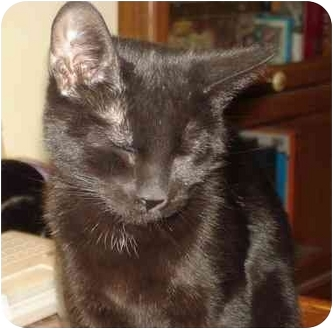 Domestic Shorthair Cat for adoption in Chesapeake, Virginia - Lucy