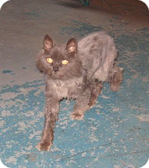 Domestic Longhair Cat for adoption in Geneseo, Illinois - Lenox