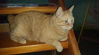Domestic Shorthair Cat for adoption in Iroquois, Illinois - Scotch