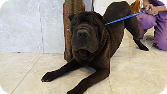 Shar Pei Dog for adoption in Mira Loma, California - Eggroll in TX- pending