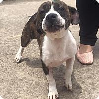 Adopt A Pet :: Rockford -LOVES kids - Norwalk, CT