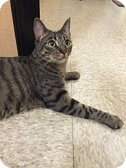 Domestic Shorthair Cat for adoption in Brea, California - SPECKLES