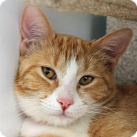 Domestic Shorthair Cat for adoption in Mountain Center, California - Camelia