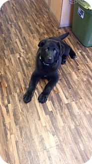 German Shepherd Dog/Labrador Retriever Mix Puppy for adoption in Huntsville, Tennessee - Rex