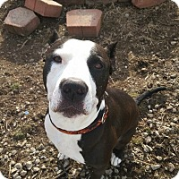 Pit Bull Terrier Mix Dog for adoption in Dayton, Ohio - Rulon