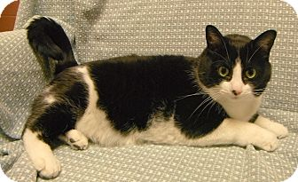 Domestic Shorthair Cat for adoption in Jackson, Michigan - Mickey