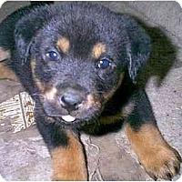 Adopt A Pet :: Roxy - dewey, AZ