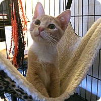 Domestic Shorthair Kitten for adoption in Savannah, Georgia - Yun