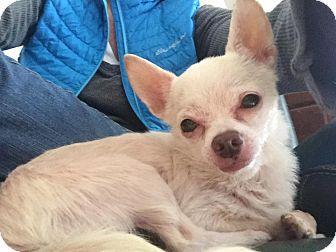 Chihuahua Mix Dog for adoption in Sharon Center, Ohio - Buddy