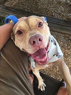 American Pit Bull Terrier Mix Dog for adoption in Okatie, South Carolina - JOSEY