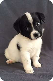 Australian Shepherd Mix Puppy for adoption in Hainesville, Illinois - Strudel