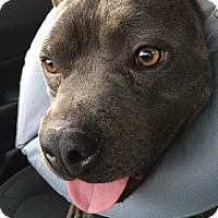 Adopt A Pet :: Boscoe - Hawthorne, CA
