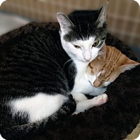 Adopt A Pet :: Pesto & Basil: Adorable Kittens! Orange & Gray - Brooklyn, NY