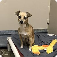 Adopt A Pet :: Chase - Richland Hills, TX