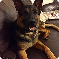 Adopt A Pet :: Bella 3 - Morrisville, NC