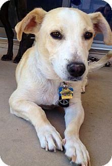 Basset Hound/Dachshund Mix Dog for adoption in Scottsdale, Arizona - Roo IM SILLY AND CUDDLY