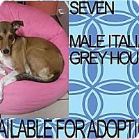 Adopt A Pet :: SEVEN - Hollywood, FL