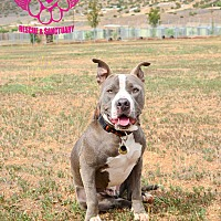 American Staffordshire Terrier/Pit Bull Terrier Mix Dog for adoption in Acton, California - Batman