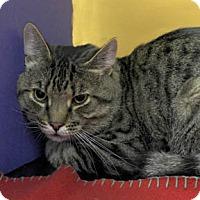 Domestic Shorthair Cat for adoption in Verdun, Quebec - Leopold