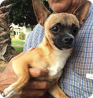 Chihuahua Mix Dog for adoption in Alhambra, California - Depo