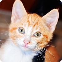 Adopt A Pet :: Ollie - Xenia, OH