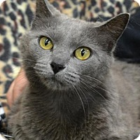 Domestic Shorthair Cat for adoption in Trenton, Missouri - Dora