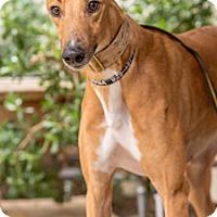 Adopt A Pet :: American - Walnut Creek, CA