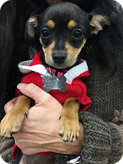 Miniature Schnauzer/Chihuahua Mix Puppy for adoption in beverly hills, California - Victoria HRH