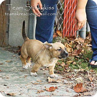 Dachshund/Basset Hound Mix Puppy for adoption in Aiken, South Carolina - Irelyn