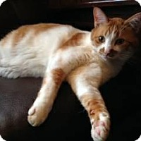 Domestic Shorthair Cat for adoption in Shoreline, Washington - Sonny