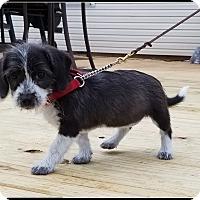 Adopt A Pet :: Impy - Milford, NJ
