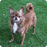 Chihuahua Dog for adoption in San Antonio, Texas - Lucy