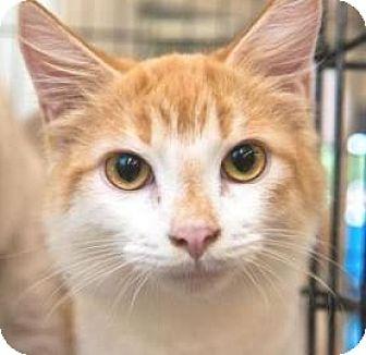 Domestic Shorthair Kitten for adoption in Miami, Florida - Caramel