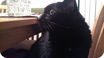 Domestic Shorthair Cat for adoption in Warren, Michigan - Lilly -black