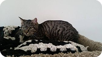 Domestic Shorthair Cat for adoption in Owenboro, Kentucky - STRIPES