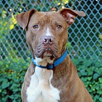 Pit Bull Terrier Mix Dog for adoption in Port Washington, New York - Olive