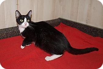 Domestic Mediumhair Cat for adoption in Jackson, Mississippi - Sylvia
