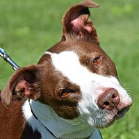 American Staffordshire Terrier/Border Collie Mix Dog for adoption in Huntley, Illinois - Janet