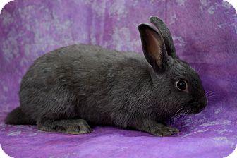 Silver Fox for adoption in Wilmington, North Carolina - Noodles
